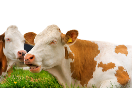 ruminate: Detail of brown and white cows resting on a green pasture. Isolated on white background