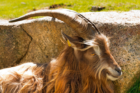 billy goat: Brown and white billy goat with long fur and horns in the shade of a rock. Italian Alps Stock Photo