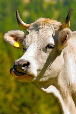 cow tongue: Detail of a white cow horned with Tongue Sticking Out Stock Photo