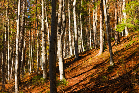 sella: Undergrowth in autumn with beech trees and pine. Val di Sella (Sella Valley), Borgo Valsugana, Trento, Italy