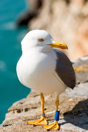 webbed legs: Detail of a seagull on the edge of cliff above the Mediterranean sea. Portovenere, Liguria, Italy Stock Photo