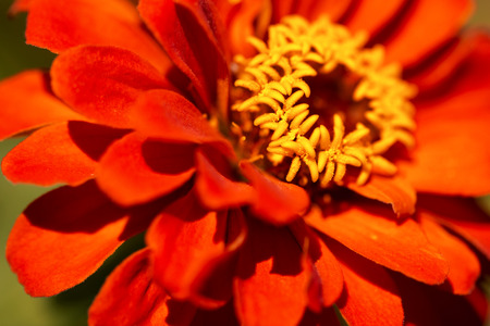 asteraceae: Macro photography of an orange and yellow zinnia flower - Asteraceae