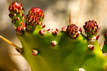 prickly flowers: Macro photography of buds and red flowers of a green prickly pear cactus
