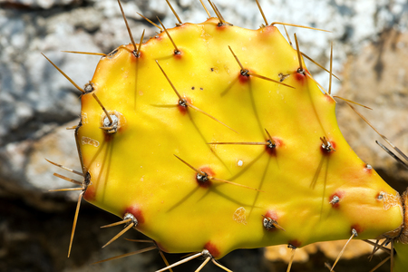 prickly pear: Macro photography of an old prickly pear cactus with long thorns