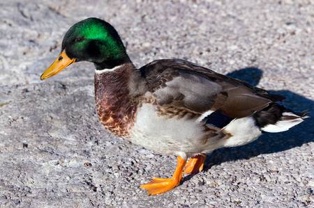 Male mallard duck on a rock, side view while looks into camera