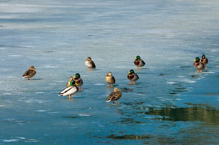 A group of male and female mallard ducks on the frozen lake of Fusine (Lago di Fusine) at the end of winter. Julian Alps, Tarvisio, Friuli Venezia Giulia, Italy