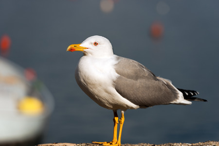 webbed legs: Detail of a seagull standing on a cliff with a boat and the sea blurred