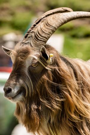 retrato de una cabra cabra marrón y blanca con la piel larga y cuernos que se inclinan en la cámara. los alpes italianos