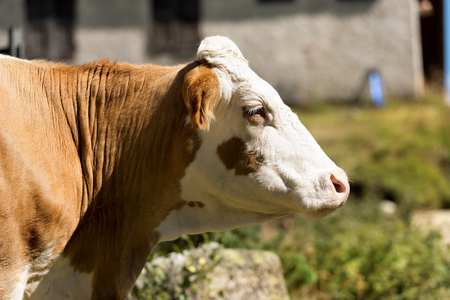 Cow - Close up of a head of brown and white heifer without horns Stock Photo