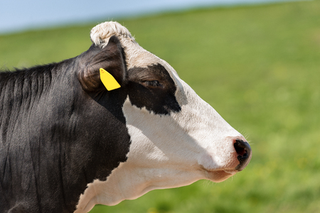 Cow - Portrait of a black and white heifer without horns - Side view