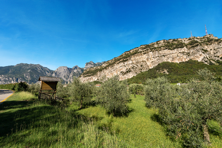 Olive orchard in the Sarca Valley (Valle del Sarca) near Torbole and Italian Alps. Trentino Alto Adige, Italy, Europe