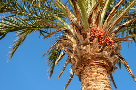 Close-up of a date palm tree with red gruits and green leaves on a clear blue sky. Egypt, Africa. Banque d'images