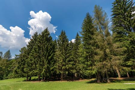 Evergreen trees and green grass in summer. Val di Sella (Sella Valley) Archivio Fotografico