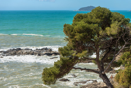 Maritime pine on the coast of Liguria, Italy. Archivio Fotografico