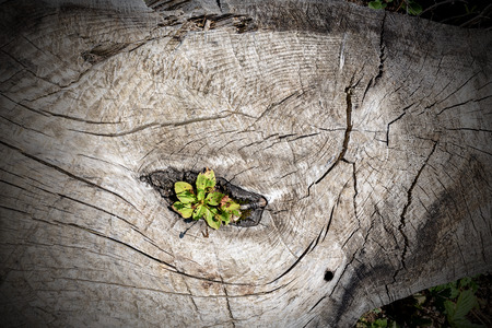 Old tree stump with a small green plant that is growing inside - The life goes on