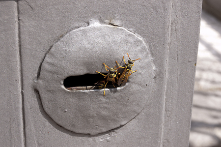 Some wasps are coming out of their nest, built inside the lock of a door, (keyhole) Archivio Fotografico