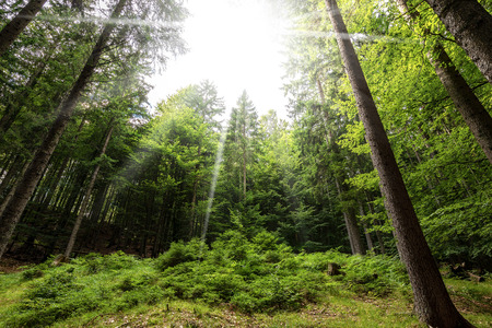 Pine and beech forest in Italian Alps seen from below with sun rays Stock Photo