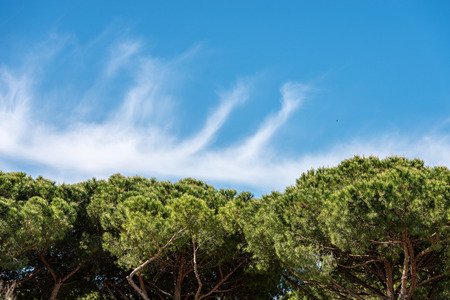 Close-up a forest with maritime pine trees with green needles on a blue sky with clouds.