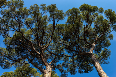 Maritime pine trees with trunk and green needles on a clear blue sky seen from below