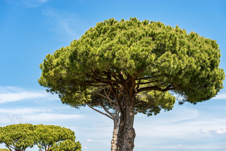 Maritime pine trees with trunk and green needles on a blue sky with clouds.