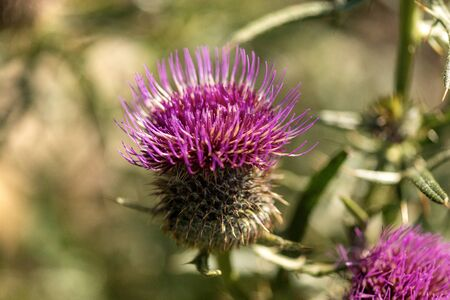 Macro photography of a purple thistle flower in Italian Alps, Monte Baldo, Veneto, Italy, Europe