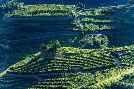 Terraced fields with green vineyards at summer, Italian Alps, Trento Province, Trentino Alto Adige, Italy, Europe Stock Photo