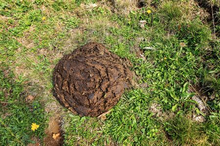 Close-up of a brown cow poop (animal dung) on a green meadow