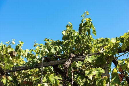 Closeup of a typical green vineyard in summer, Liguria, Italy, South Europe