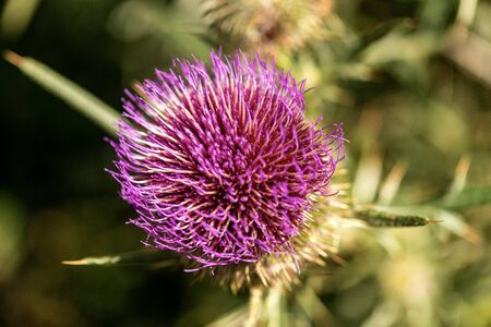 Macro photography of a purple thistle flower in Italian Alps, Monte Baldo, Veneto, Italy, Europe