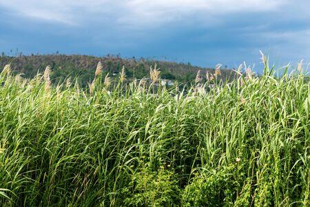 Close-up of green reeds, cane thicket, at summer. Serraia Lake (Lago della Serraia), Trentino Alto Adige, Italy, Europe Banco de Imagens
