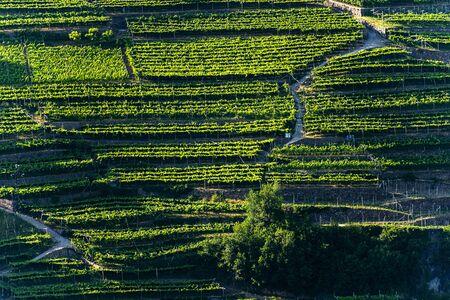 Green vineyards at summer, Italian Alps, Trento Province, Trentino Alto Adige, Italy, Europe