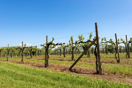 Typical vineyard in spring without fruit on a clear blue sky, Veneto, Italy, Europe