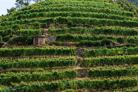 Terraced fields with green vineyards at summer in Vernazza village, Cinque Terre, Liguria, Italy, Europe Standard-Bild