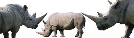 White rhinoceros isolated on white background, collection of three photos Stock Photo