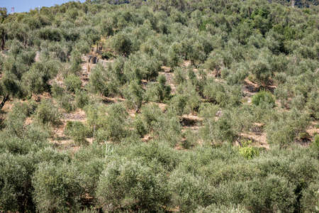 Terraced fields with olive trees at summer, Tellaro village, Liguria, Italy, southern Europe