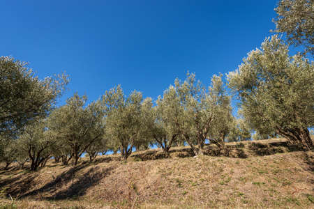 Terraced field with olive trees on the coast of the Lake Garda (Lago di Garda) with clear sky on background, Verona Province, Veneto, Italy, southern Europe.