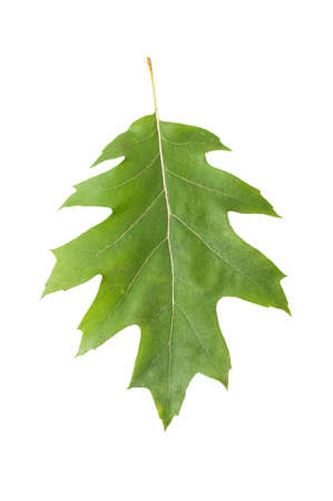 fagaceae: One single green oak leaf isolated on white background Stock Photo