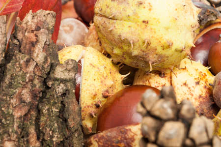 Closeup of autumn concept with chestnuts in shell and wood bark photo