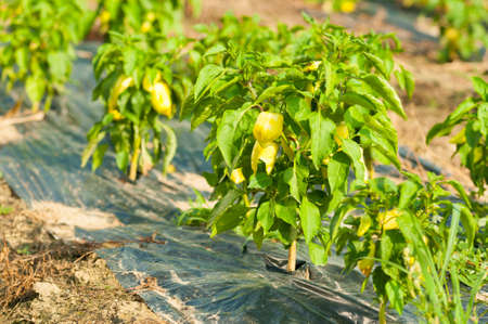 bush pepper: Organic yellow pepper bush in a vegetable farm outside with copy text space Stock Photo