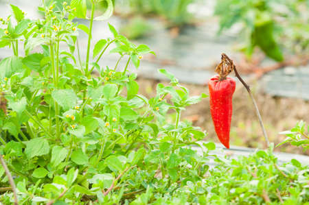 affected: Dry red pepper with rusty leaves affected by disease as eco agriculture concept with copy text space Stock Photo