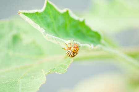 field stripped: Close-up of Colorado bug on a leaf as a eco bio agriculture concept without pesticides