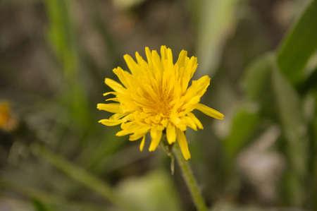 yelow: Comoon yelow flower