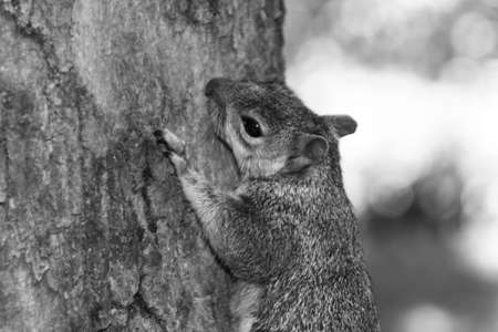 clawing: Squirrel clinging to tree Stock Photo