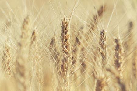 barley head: Heads of rye