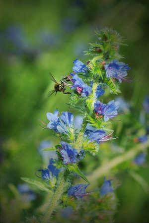 echium: Vipers bugloss pollinated by a wasp - Echium vulgare Stock Photo