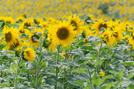 helianthus: Sunflower  Helianthus annuus
