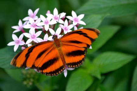 dorsal: Mariposa bandas Orange (Dryadula phaetusa) con vista dorsal se alimentan de flores de color rosa. Natural de fondo verde. Foto de archivo