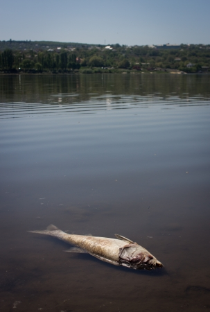 Dead fish at the shore of a lake