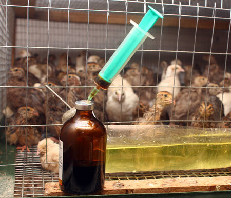 poultry animals: Antibiotic syringe near small quail cage in partridge farm