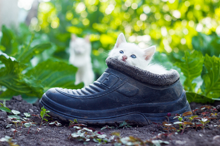 Mother cat sitting behind small white kitten hiding in old boot
